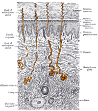 Gray940 - sweat gland.png