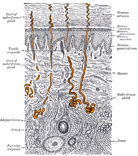 Eccrine sweat gland distributed almost all over the human body, in varying densities; its water-based secretion represents a primary form of cooling in humans