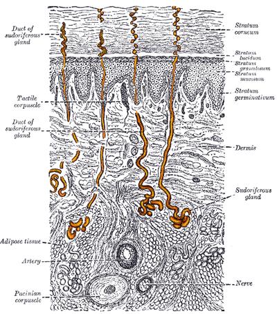 Eccrine sweat gland - Wikiwand