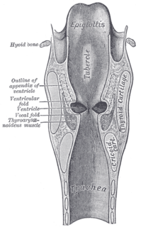 Laryngeal ventricle