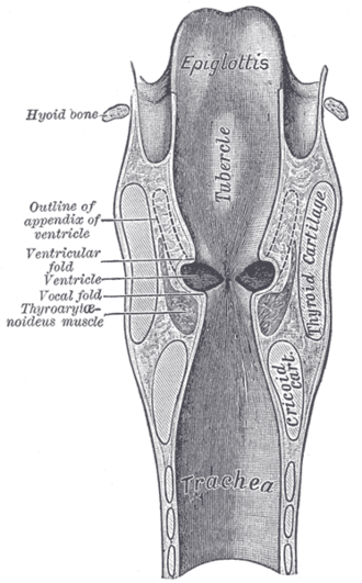 "Laryngeal vestibule - Coronal section of larynx and upper part of trachea. (Laryngeal vestibule not labeled, but visible near region labeled ""Tubercle"")"