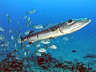 Great Barracuda off the Netherland Antilles.jpg