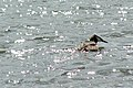 Great crested grebe on Barton Broad - geograph.org.uk - 967045.jpg