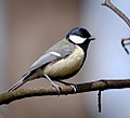 Great tit (25697679104).jpg
