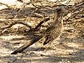 Greater Roadrunner - Flickr - treegrow.jpg