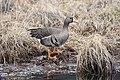 Greater White Fronted Goose (b7eba814-1b5f-4419-91f6-868a0a45e21e).jpg