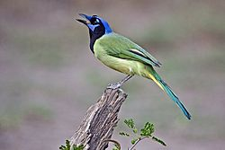Green Jay near Roma, Texas.jpg