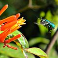 Green Orchid Bee (Euglossa dilemma) (7406599274).jpg