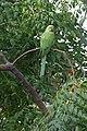 Green Parrot in Ramat Gan (8).jpg