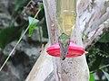 Green Violetear Hummingbirds - Inkaterra Machu Picchu Pueblo Hotel and Nature Reserve - Aguas Calientes, Peru (4875686711).jpg