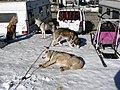 Gresse-en-Vercors chiens de traîneau 2.jpg