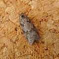 Grey( or Light Grey) Tortrix. Cnephasia stephensiana (or incertana) - Flickr - gailhampshire.jpg