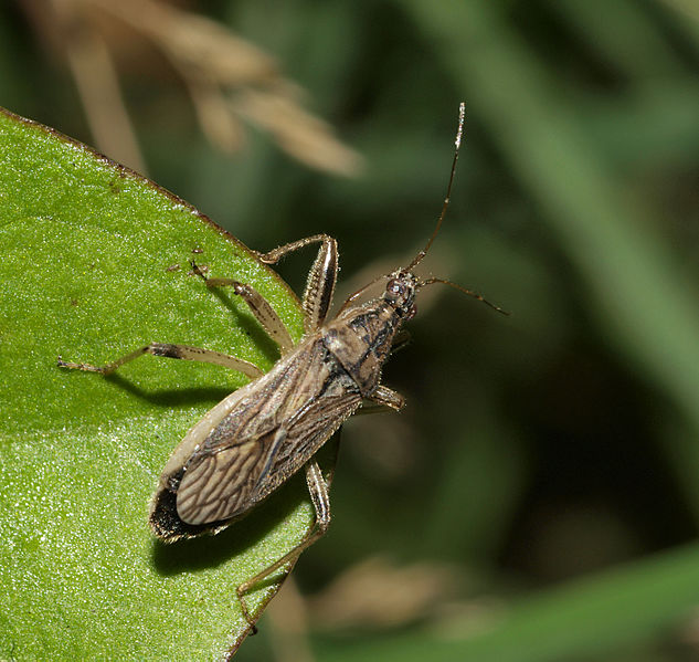 File:Grey Damsel Bug - Himacerus major (15398326551).jpg