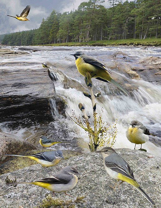 Grey Wagtail from the Crossley ID Guide Britain and Ireland