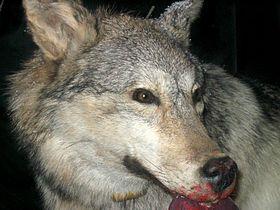 Grey Wolf 1.jpg
