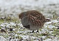 Grey partridge (47369484241).jpg