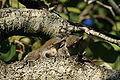 Grey squirrel in Hugh Taylor Birch State Park 3.JPG