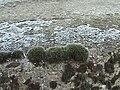 Grimmia pulvinata 1.jpg