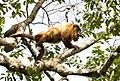 Guyanan red howler 1.jpg