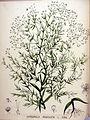 Gypsophila paniculata — Flora Batava — Volume v20.jpg