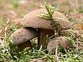 Gyroporus castaneus.jpg