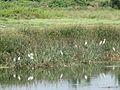 Hérons garde-boeuf, lac Bogadi.JPG