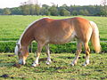 Haflinger horse on pasture in the Netherlands.jpg