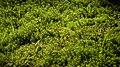 Haircap moss in Gullmarsskogen ravine.jpg