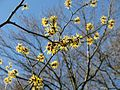 Hamamelis in woods - Flickr - peganum (1).jpg