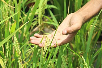Paddy field - Human hand touching paddy grains