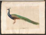 Hans Verhagen den Stommen - Drawing of a peacock.png