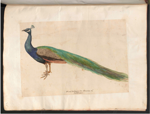 Hans Verhagen den Stommen - Drawing of a peacock.png