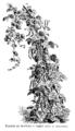 Haricot de Soissons à rames Vilmorin-Andrieux 1904.png