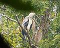 Harpia harpyja - Harpy Eagle. (41760126880).jpg