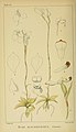 Harry Bolus - Orchids of South Africa - volume I plate 085 (1896).jpg