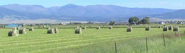 Field of freshly baled round hay bales.