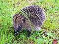 Hedgehog (Erinaceus europaeus) (10873758833).jpg