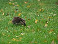 Hedgehog On Lawn (181386199).jpeg