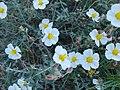 Helianthemum almeriense flor.jpg