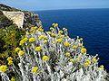 Helichrysum melitense.JPG