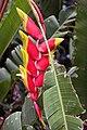 Heliconia rostrata 13zz.jpg