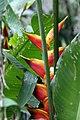 Heliconia x Heliconia bihai 0zz.jpg