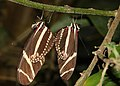 Heliconius-charithonia-paarung.jpg