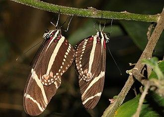 Heliconius charithonia - Image: Heliconius charithonia paarung