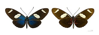 Sara longwing - Heliconius sara dorsal and ventral sides