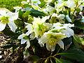Helleborus niger in Jardin des Plantes 03.JPG