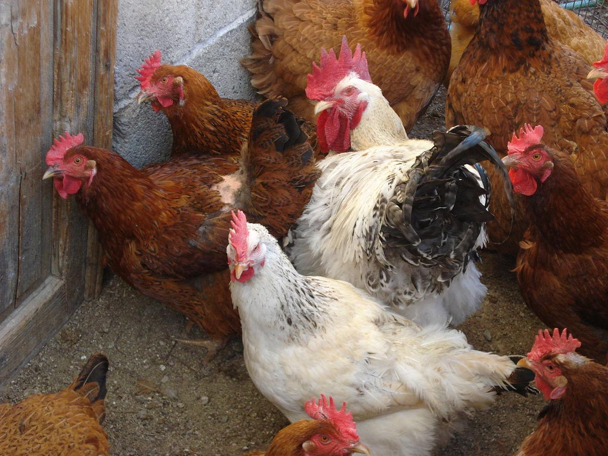 cock in hen house