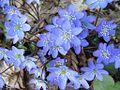 Hepatica nobilis - Aulanko.jpg