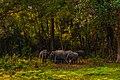Herd of Elephant in Manas.jpg