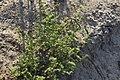 Herniaria polygama 43042514.jpg